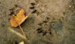 7731b51f724 Stopy norka amerického (Mustela vison) na břehu řeky Moravy. Foto H.  Šuláková