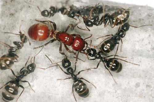 mravenci otrokáři