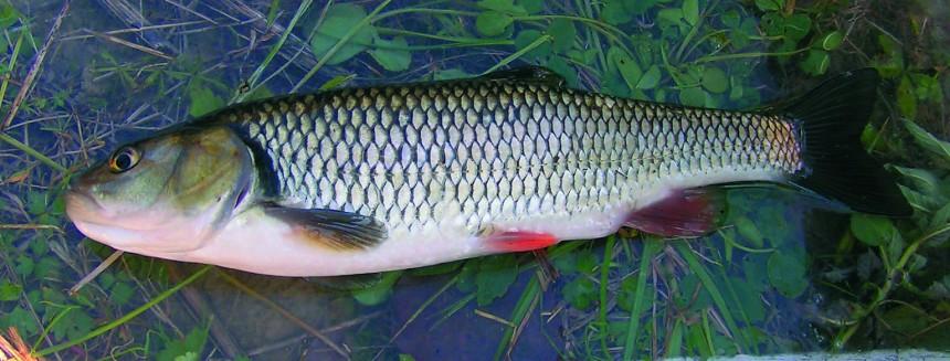 Klen Vyznam-ryb-pro-sledovani-pritomnosti-cizorodych-la